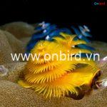 Christmas Tree Worms - Phu Quoc Snorkeling