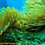 Golden Anemone clump at Phu Quoc Half-moon Reef, Phu Quoc Island Private Snorkeling - Phu Quoc Coral Reef