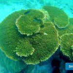 Acropora Hyacinthus Coral - A near threatened coral species in Phu Quoc (IUCN RedList) - Phu Quoc Diving & Snorkeling