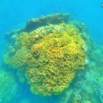 Genus Sarcophyton - Phu Quoc Coral Observation - Diving & Snorkeling in Phu Quoc